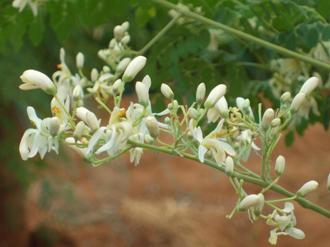 moringa flower