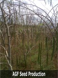 moringa-trees